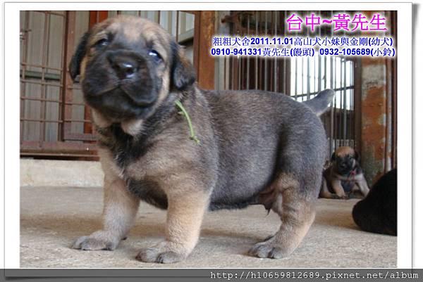 2011.11.1高山犬黑色種母(小妹)第一胎~95.jpg