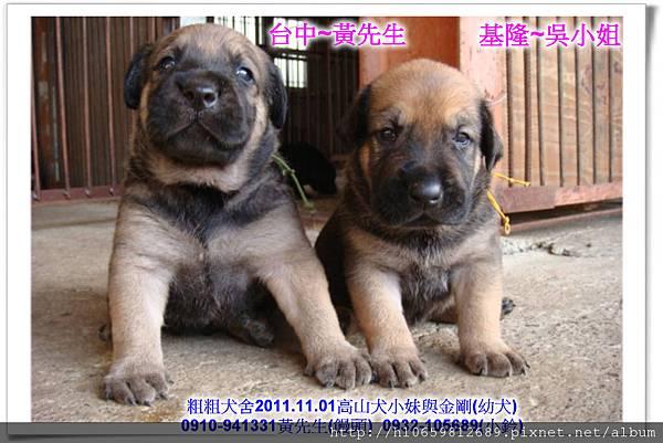 2011.11.1高山犬黑色種母(小妹)第一胎~96.jpg