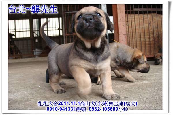 2011.11.1高山犬黑色種母(小妹)第一胎~98.jpg