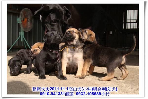 2011.11.1高山犬黑色種母(小妹)第一胎~99.jpg