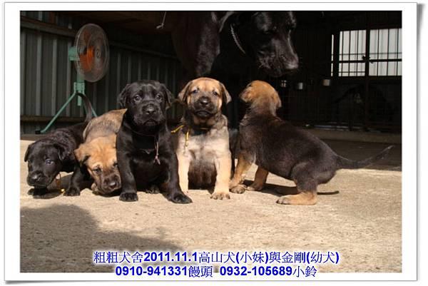 2011.11.1高山犬黑色種母(小妹)第一胎~101.jpg