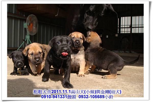 2011.11.1高山犬黑色種母(小妹)第一胎~102.jpg