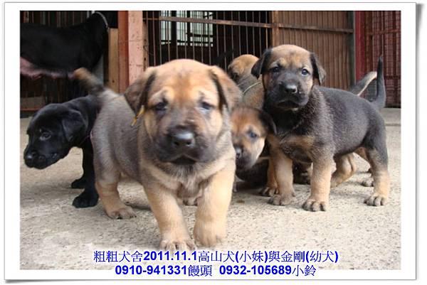 2011.11.1高山犬黑色種母(小妹)第一胎~106.jpg