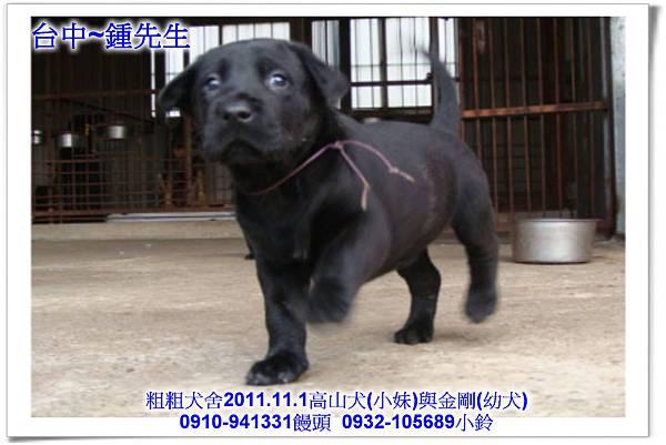 2011.11.1高山犬黑色種母(小妹)第一胎~107.jpg