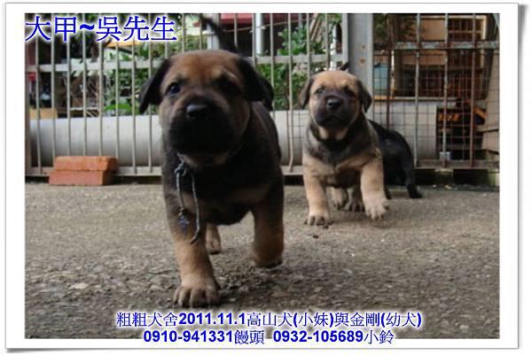 2011.11.1高山犬黑色種母(小妹)第一胎~108.jpg