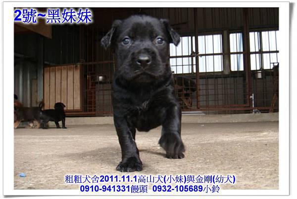 2011.11.1高山犬黑色種母(小妹)第一胎~111.jpg