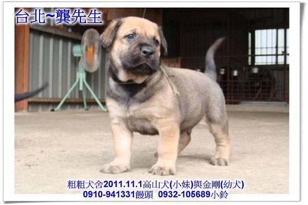 2011.11.1高山犬黑色種母(小妹)第一胎~112.jpg