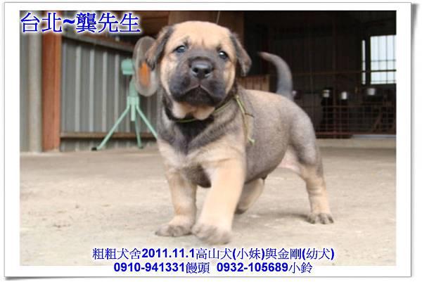2011.11.1高山犬黑色種母(小妹)第一胎~113.jpg