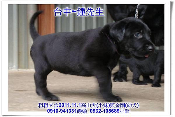 2011.11.1高山犬黑色種母(小妹)第一胎~117.jpg