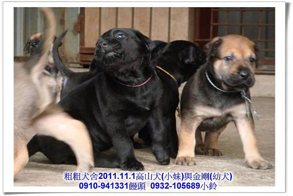 2011.11.1高山犬黑色種母(小妹)第一胎~118.jpg