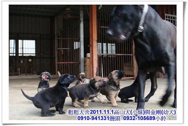 2011.11.1高山犬黑色種母(小妹)第一胎~119.jpg