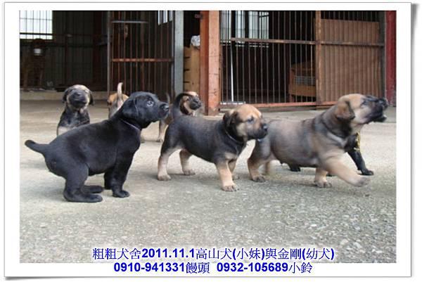 2011.11.1高山犬黑色種母(小妹)第一胎~120.jpg
