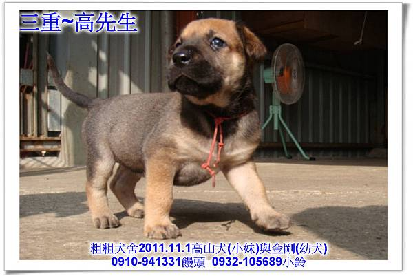 2011.11.1高山犬黑色種母(小妹)第一胎~121.jpg