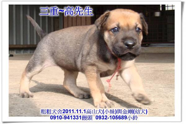2011.11.1高山犬黑色種母(小妹)第一胎~122.jpg