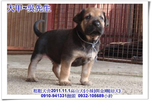 2011.11.1高山犬黑色種母(小妹)第一胎~123.jpg