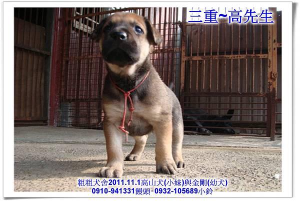 2011.11.1高山犬黑色種母(小妹)第一胎~125.jpg