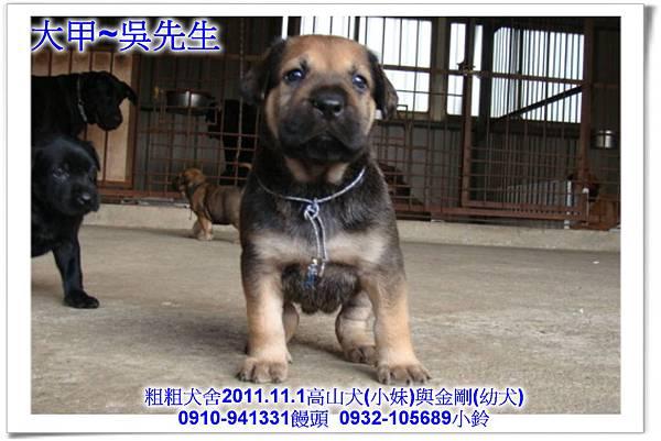 2011.11.1高山犬黑色種母(小妹)第一胎~126.jpg