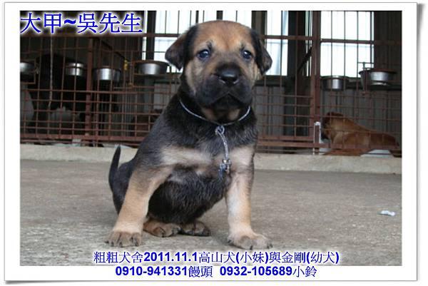 2011.11.1高山犬黑色種母(小妹)第一胎~127.jpg