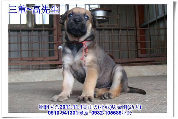 2011.11.1高山犬黑色種母(小妹)第一胎~128.jpg