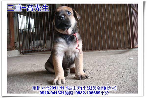 2011.11.1高山犬黑色種母(小妹)第一胎~129.jpg