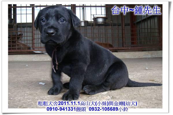 2011.11.1高山犬黑色種母(小妹)第一胎~134.jpg