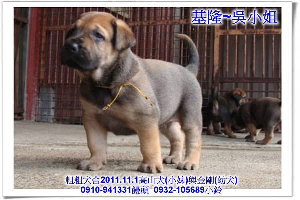 2011.11.1高山犬黑色種母(小妹)第一胎~135.jpg