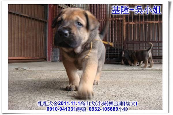 2011.11.1高山犬黑色種母(小妹)第一胎~136.jpg