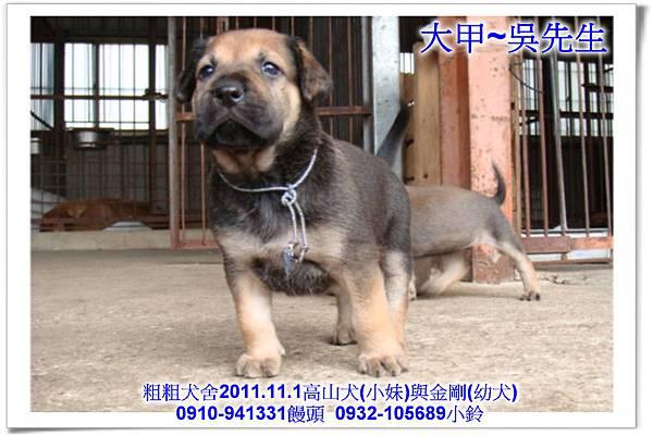 2011.11.1高山犬黑色種母(小妹)第一胎~137.jpg