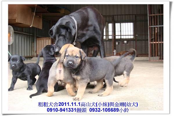 2011.11.1高山犬黑色種母(小妹)第一胎~139.jpg
