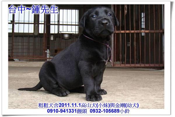 2011.11.1高山犬黑色種母(小妹)第一胎~140.jpg