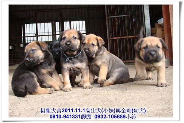 2011.11.1高山犬黑色種母(小妹)第一胎~143.jpg