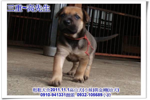 2011.11.1高山犬黑色種母(小妹)第一胎~145.jpg