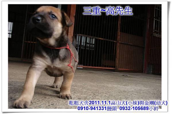 2011.11.1高山犬黑色種母(小妹)第一胎~146.jpg