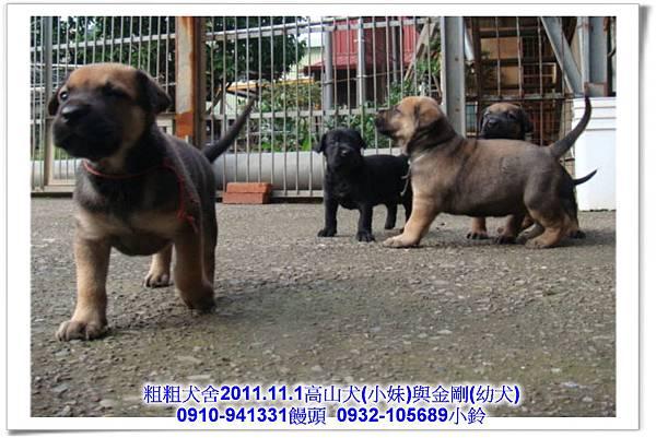 2011.11.1高山犬黑色種母(小妹)第一胎~147.jpg