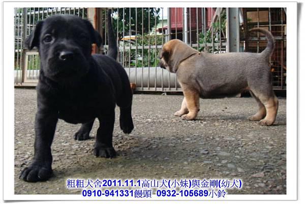 2011.11.1高山犬黑色種母(小妹)第一胎~150.jpg