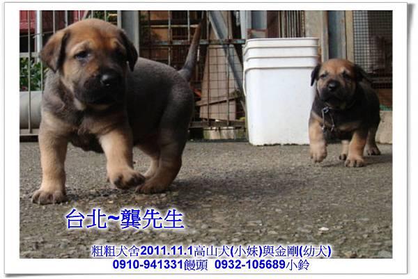 2011.11.1高山犬黑色種母(小妹)第一胎~152.jpg