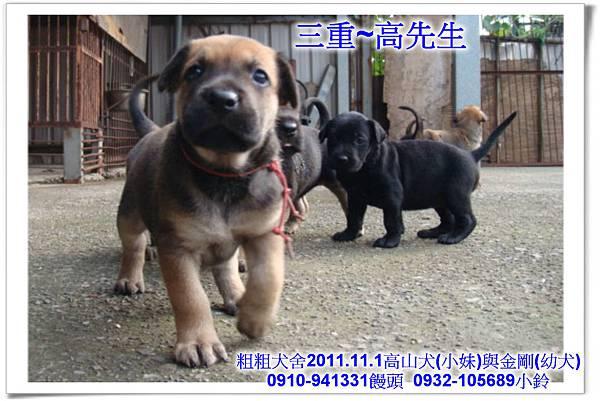 2011.11.1高山犬黑色種母(小妹)第一胎~154.jpg