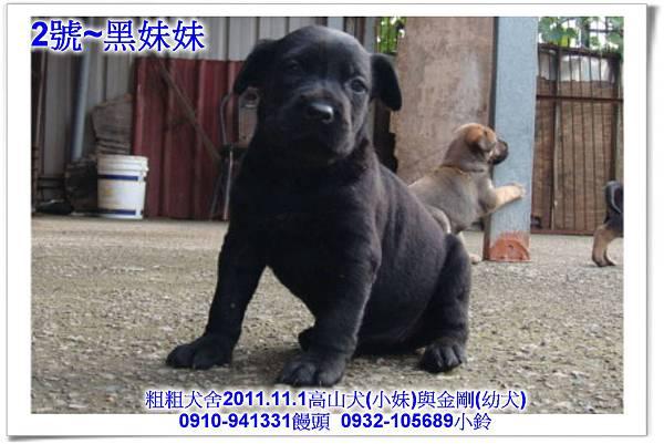 2011.11.1高山犬黑色種母(小妹)第一胎~155.jpg
