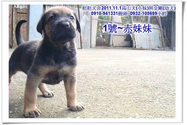 2011.11.1高山犬黑色種母(小妹)第一胎~156.jpg