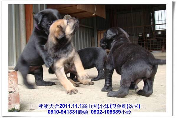 2011.11.1高山犬黑色種母(小妹)第一胎~157.jpg