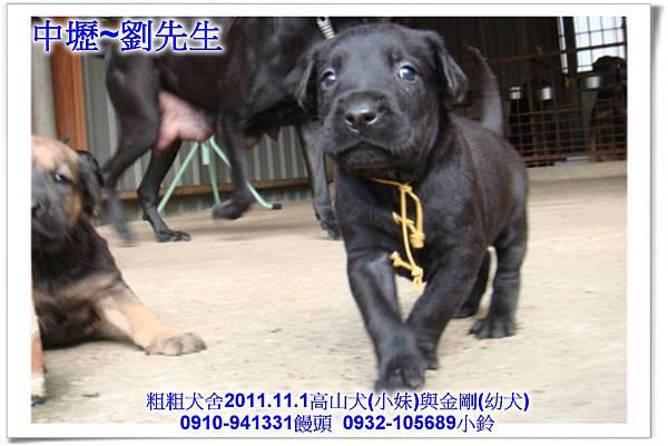 2011.11.1高山犬黑色種母(小妹)第一胎~158.jpg