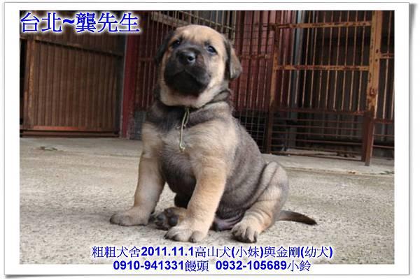 2011.11.1高山犬黑色種母(小妹)第一胎~159.jpg