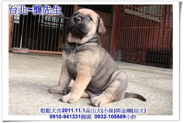 2011.11.1高山犬黑色種母(小妹)第一胎~162.jpg