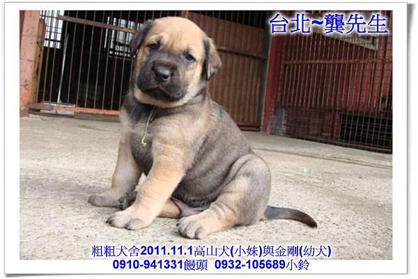 2011.11.1高山犬黑色種母(小妹)第一胎~163.jpg