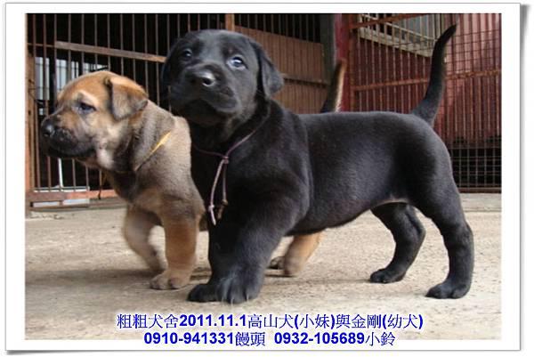 2011.11.1高山犬黑色種母(小妹)第一胎~165.jpg