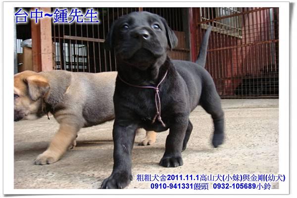 2011.11.1高山犬黑色種母(小妹)第一胎~166.jpg