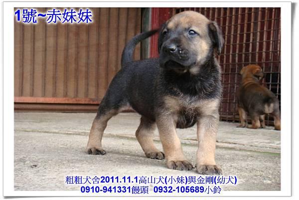 2011.11.1高山犬黑色種母(小妹)第一胎~167.jpg