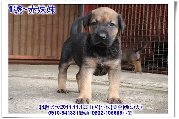 2011.11.1高山犬黑色種母(小妹)第一胎~168.jpg