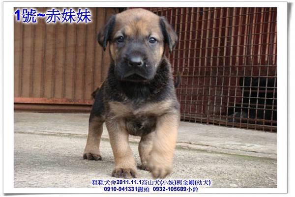 2011.11.1高山犬黑色種母(小妹)第一胎~169.jpg