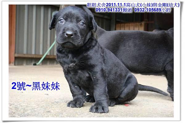 2011.11.1高山犬黑色種母(小妹)第一胎~170.jpg